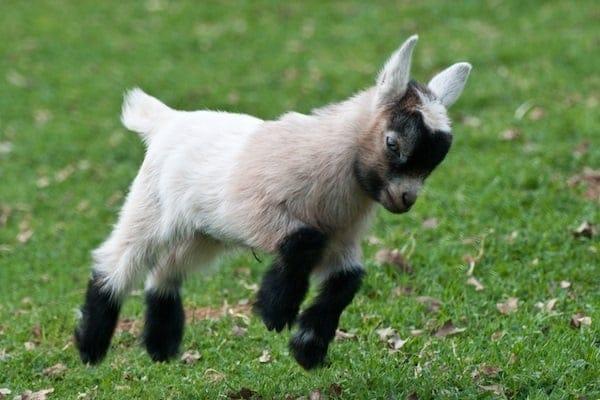 raising-pygmy-goats-as-pets