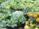 watermelon-companion-plants-the-best-and-the-worst-crops-to-grow-with-watermelons