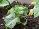 Cucumber companion planting step by step guide.