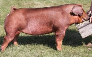 Duroc Pig - Characteristics, Origin, Breed Info, reproduction and Lifespan and commercial value