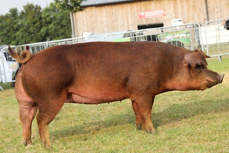 Duroc Pig - Characteristics, Origin, Breed Info, reproduction and Lifespan