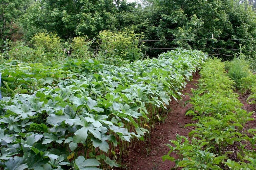 Okra companion planting - the best and worst crops to grow together with okra