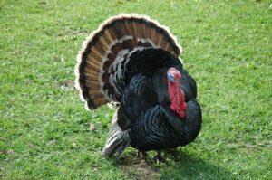turkey farming - how to start turkey farming business