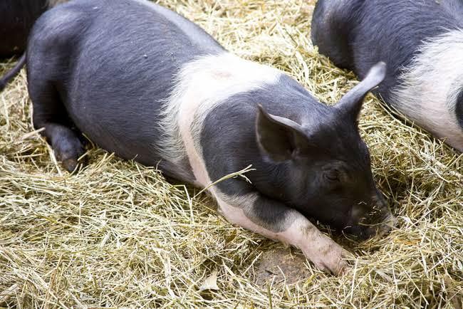 Hampshire pig breed information