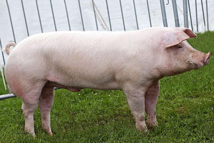 Landrace Pig – Characteristics, Origin, Breed Info and Lifespan (1)