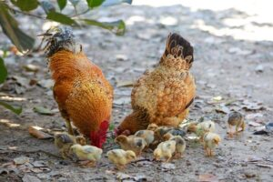 how to start local chicken farming in Nigeria