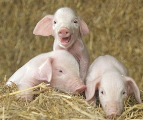 landrace pig breed - piglets