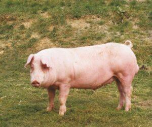 landrace pig breeds