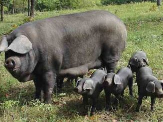 large black pig breed characteristics, lifespan, history and other information
